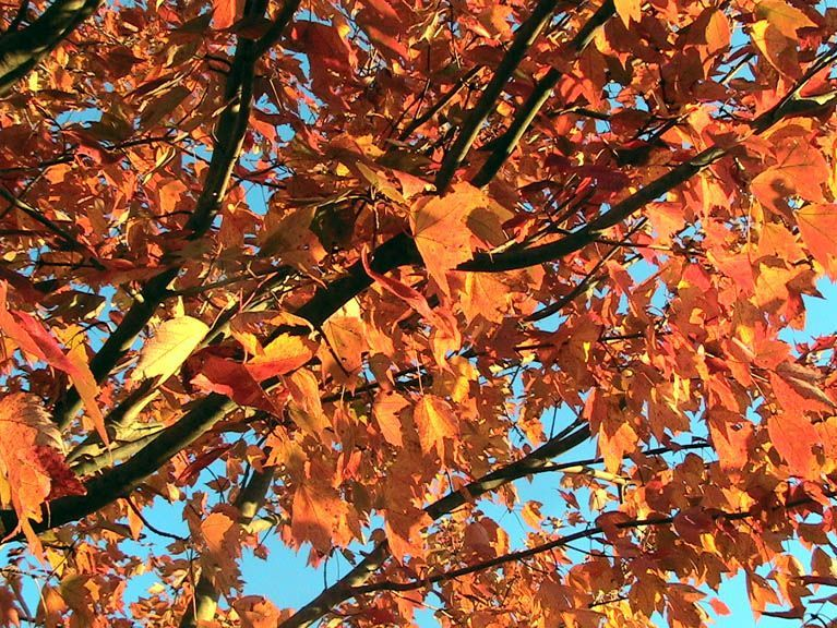 red-maple-tree-in-autumn-fall